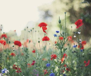 flowers, poppy, and nature image