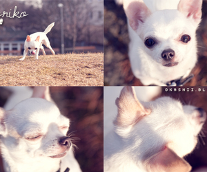 chihuahua, ice, and puppy image