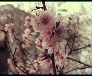 cherry tree, nature, and pink image