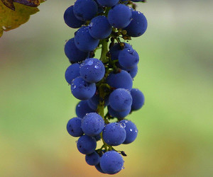blue, california, and grapes image