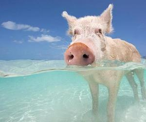 pig and water image
