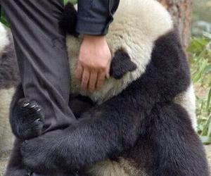 panda cute love china image