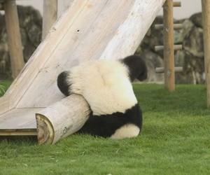 panda, funny, and animal image