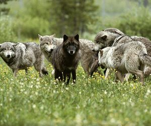 wolf and black wolf image