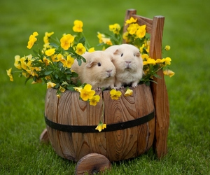 animal, guinea pigs, and flowers image