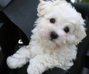 black and white, deluxe, and havanese image