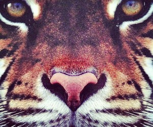 beautiful, tiger, and zoom image