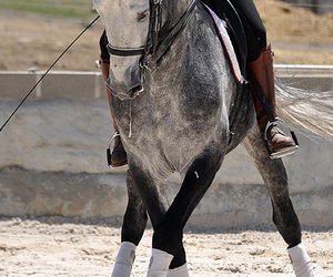 andalusian, beautifull, and dressage image