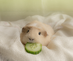 animal, carrot, and guinea pig image