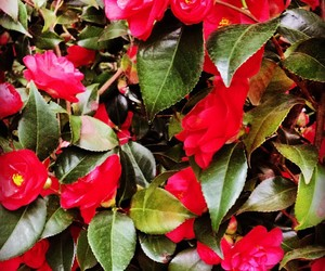 flowers, pink, and camellia image