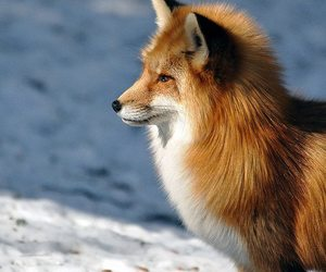 animal, fox, and beautiful image