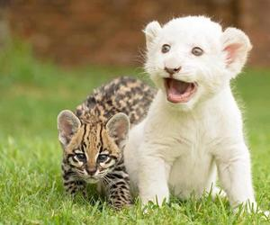 animal, baby, and lion image
