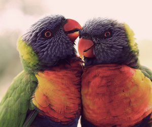 animal, colorful, and parrots image