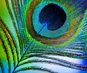 colors, feather, and peacock image