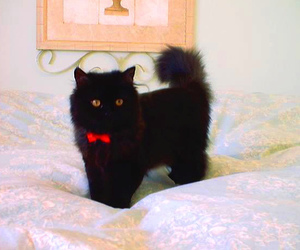 black cat, cat, and red ribbon image