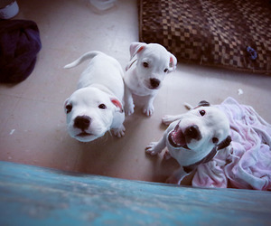 dog, staffie, and puppy image