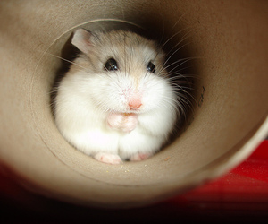 hamster, cute, and adorable image
