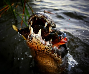 awesome, crocodile, and fish image
