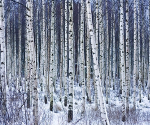 birch, finland, and tree image