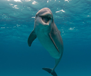 animals, dolphin, and ocean image