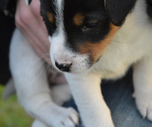 adorable, jack russel, and puppy image