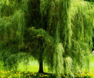 green, weeping willow, and nature image