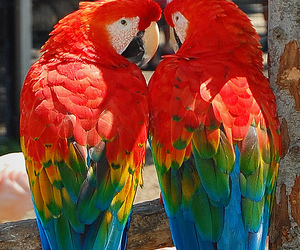 scarlet macaws and am image
