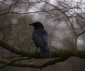 raven, bird, and black image