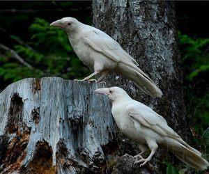 raven, bird, and white image