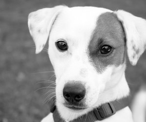 black and white, dog, and jack russel terrier image