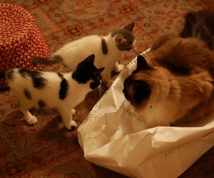bag, cat, and kittens image