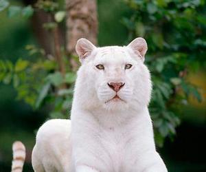 animal, tiger, and white image
