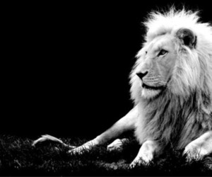 black white and lion image