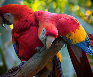 amazing, scarlet macaws, and birds image