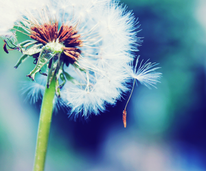 flowers, photography, and dandelion image