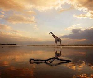 animal, beautiful, and giraffe image