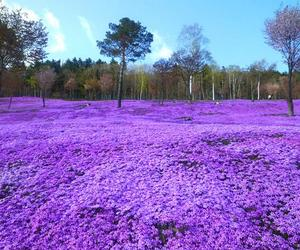 flowers, japan, and purple image