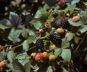 berries, fruit, and green image