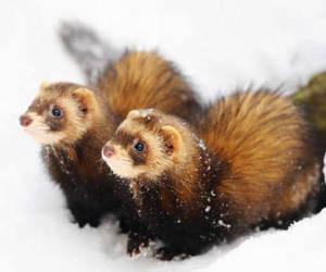 cute animals and ferrets image