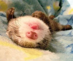 animal, ferret, and sleep image