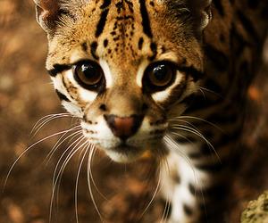 animal, cat, and wild image