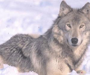 animal, wild, and wolf image