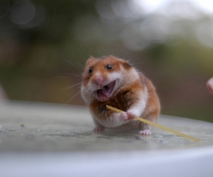 cute, funny, and hamster image