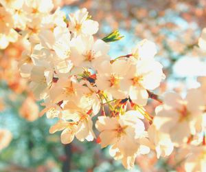 cherry blossoms, floral, and flowers image