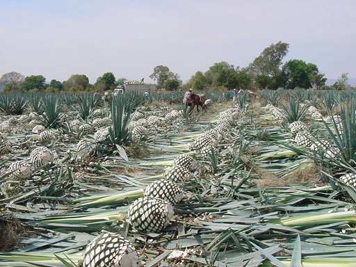 In Search of the Blue Agave: Cultivating Tequila
