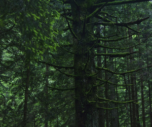 evergreen, forest, and green image