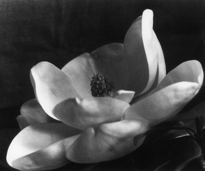 black and white, imogen cunningham, and magnolia blossom image
