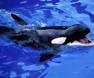 killer whale and orca image