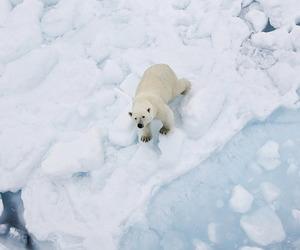 ice, animal, and Polar Bear image