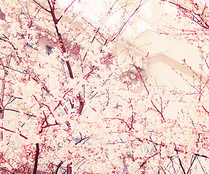 cherry blossoms, flora, and flowers image